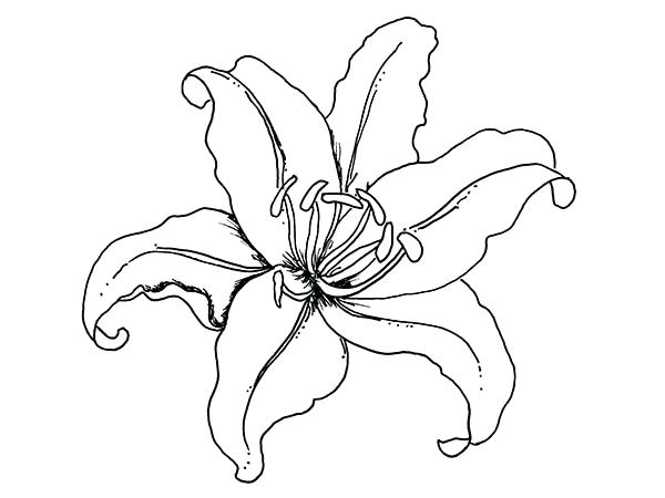 600x450 lily flower drawing how to draw a lily flower step lily pad