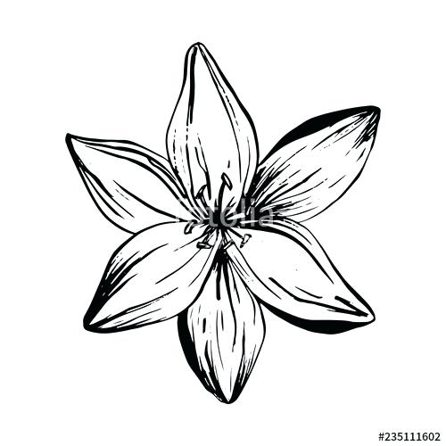 500x500 Drawing Of Lilies