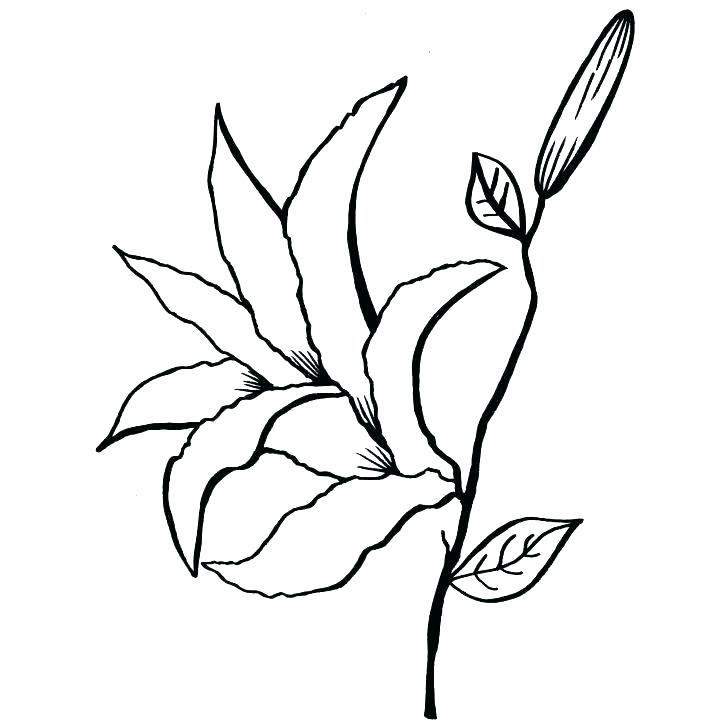 728x728 Lily Coloring Pages