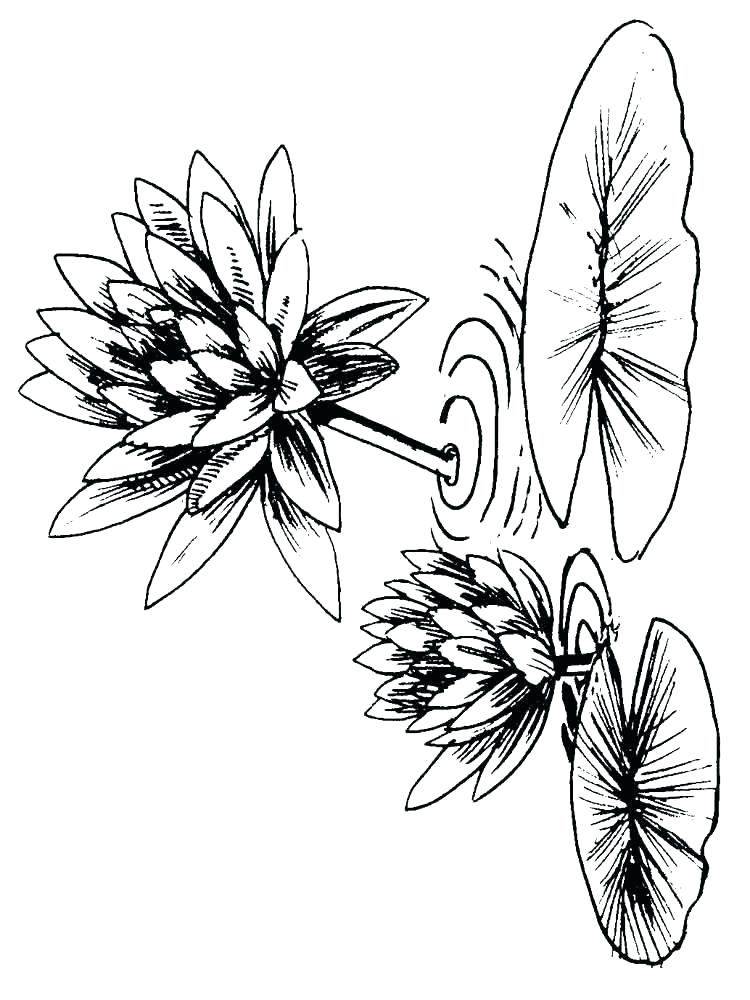 750x1000 lily coloring pages frog lily pad coloring