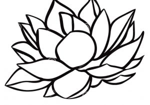 300x210 water lily flower drawing water lily