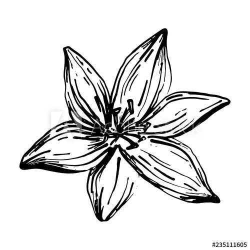 500x500 Hand Drawn Lilies Flowers Isolated On A White Background Lily