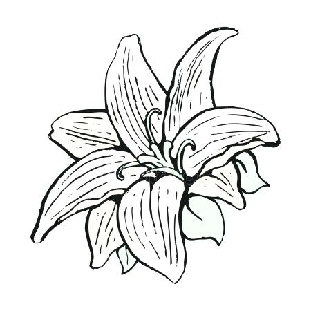 450x450 Lily Flower Outline Lily Pad Flower Drawing At Free For Personal