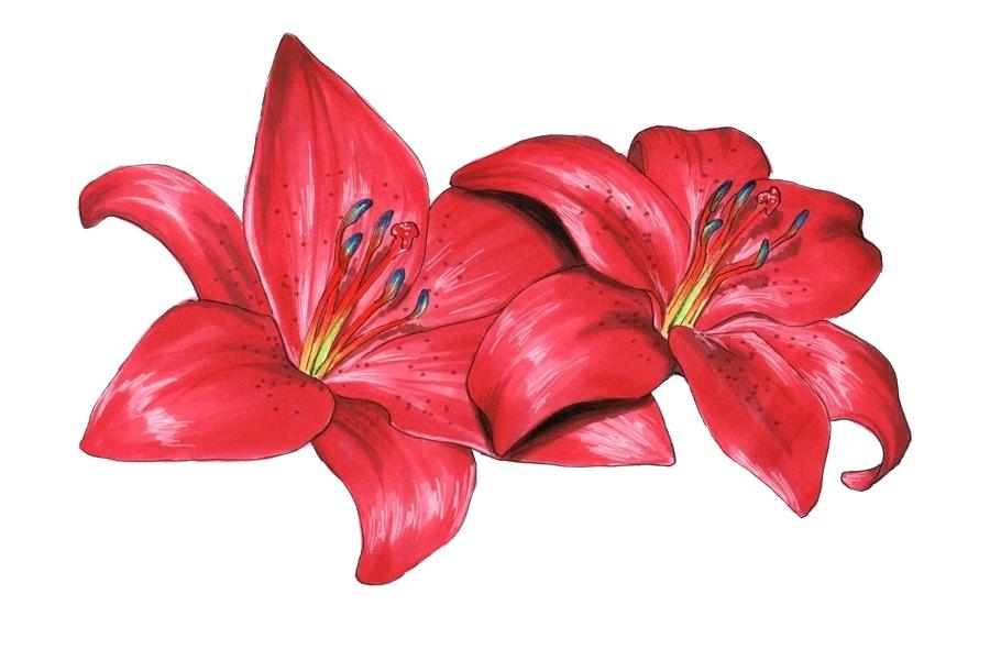 900x600 Lilly Flower Drawing How To Draw A Lily Pad Complete The Drawing