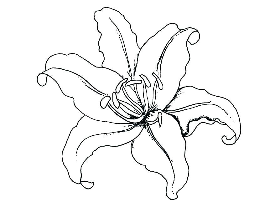 878x659 calla lily sketch the calla lily draw a calla lily