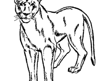 440x330 Realistic Lion Coloring Pages, About Lions