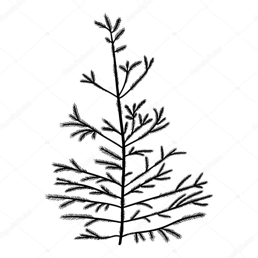 Longleaf Pine Drawing