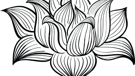 570x320 Lotus Flower Outline Drawing Zupa