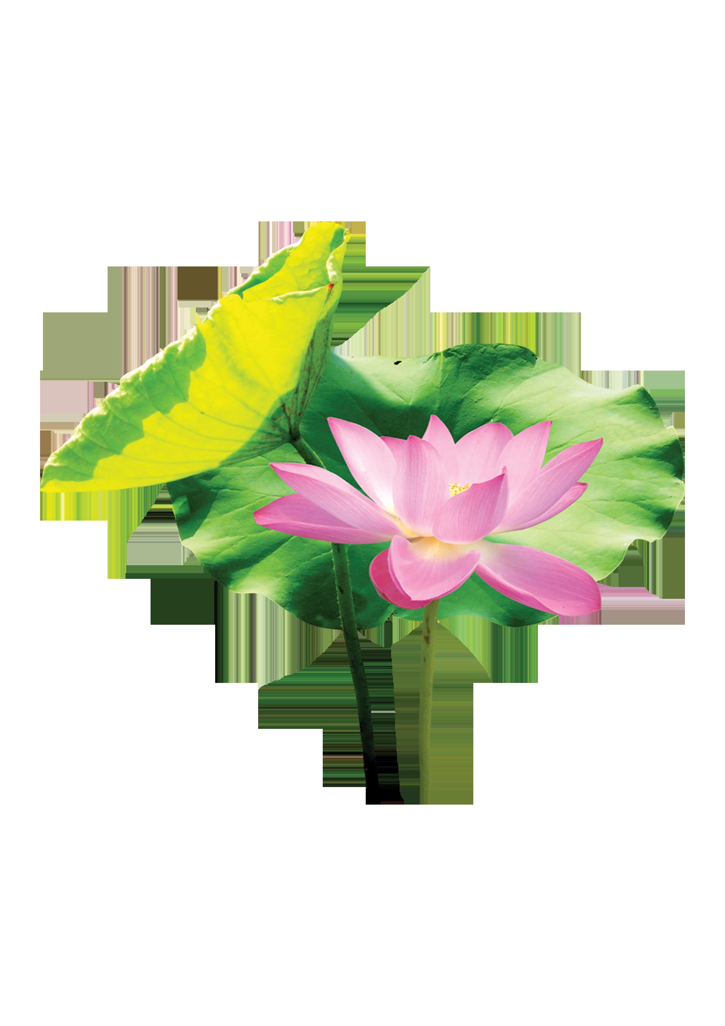 2480x3508 Lotus Leaf Clipart