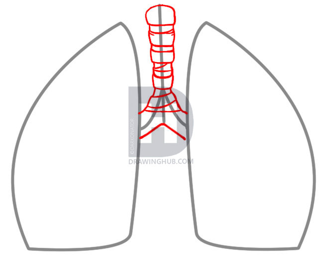 655x523 How To Draw Lungs, Step