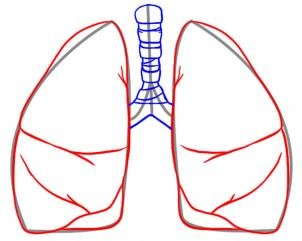 302x241 How To Draw Lungs, Step