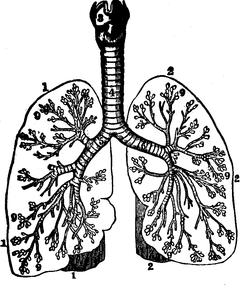 831x983 Lungs Drawing Human Biology For Free Download