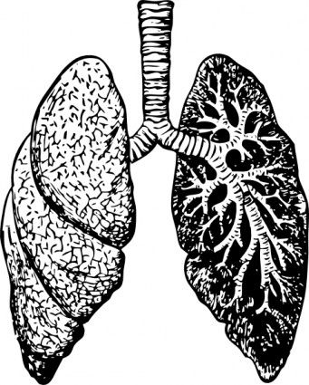 341x425 Lungs Clip Art Tecnicas Graficas In Pulmones Anatomia