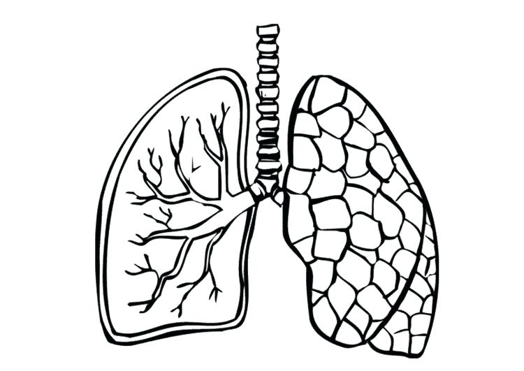 750x531 Lungs Drawing Free Download
