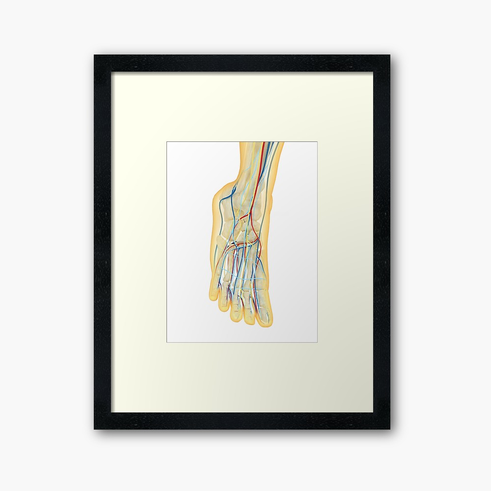 1000x1000 human foot with nervous system, lymphatic system and circulatory