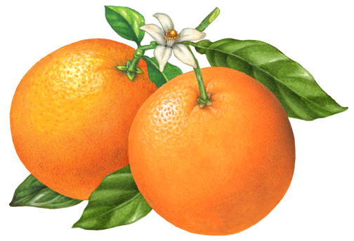 504x344 Botanical Illustration Of Two Whole Oranges On A Branch