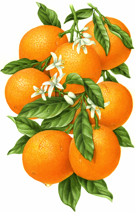 432x679 Botanical Illustration Of An Orange Branch With Eight Oranges
