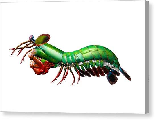 546x421 Peacock Mantis Shrimp Digital Art