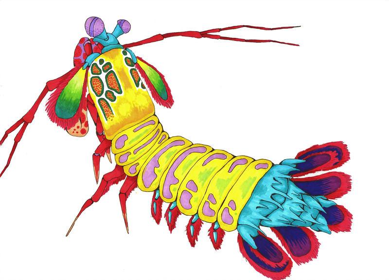 800x575 Peacock Mantis Shrimp