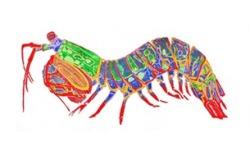 250x151 Mantis Shrimp Tumblr