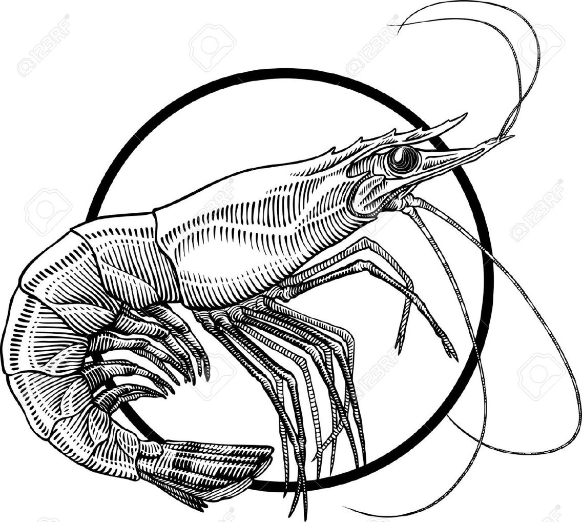 1136x1018 Shrimp Drawing Sketch For Free Download