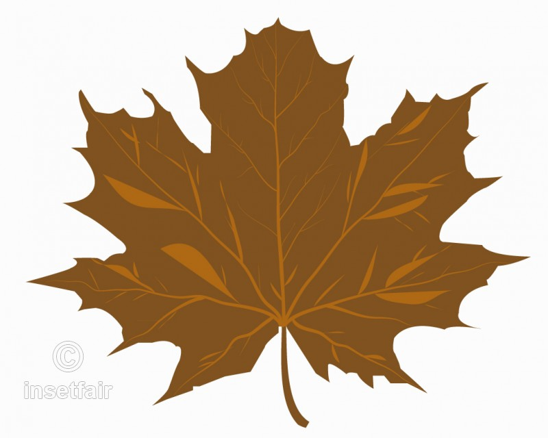 800x640 Brown Maple Leaf Vector Drawing