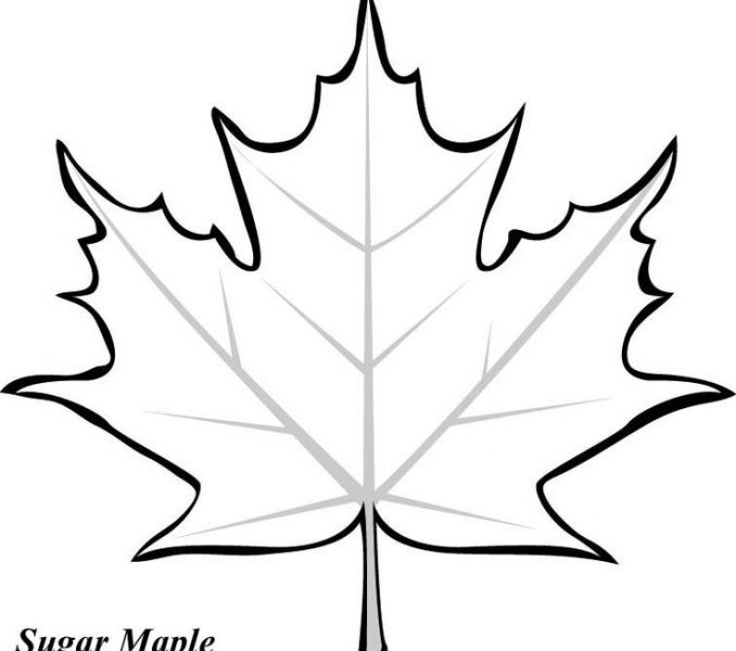 678x600 Collection Of 'maple Leaf Drawing Template' Download More Than