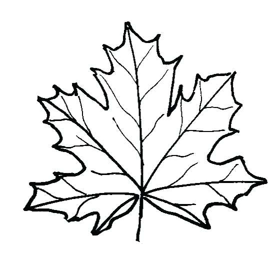 560x540 Sugar Maple Leaf Drawing At Free For Personal Use Pictures