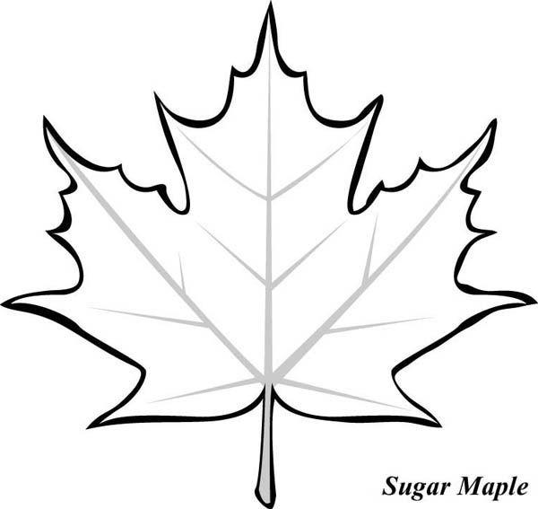 600x567 Maple Leaf, Sugar Maple Leaf Picture Coloring