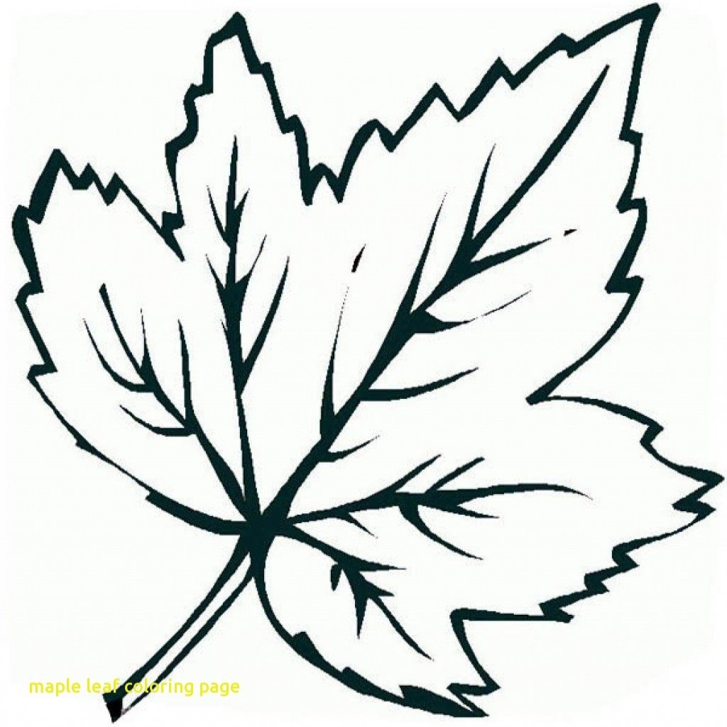1024x1024 Maple Leaf Coloring Sheet Fascinating Outline Template Galleryhip