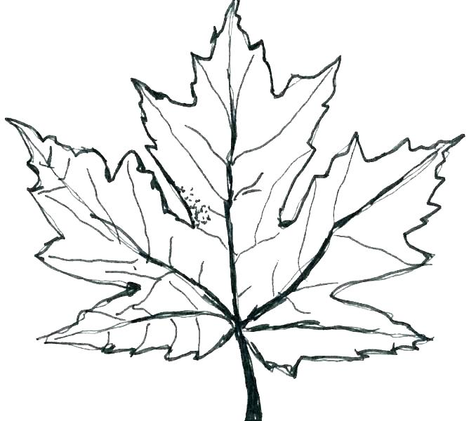678x600 Toronto Maple Leafs Coloring Pages Maple Leaf Coloring