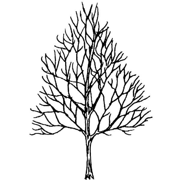 600x600 Purple Daisy Design C Small Maple Tree