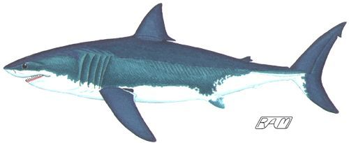 500x205 shark drawing shark drawings shark drawing, shark tattoos, shark