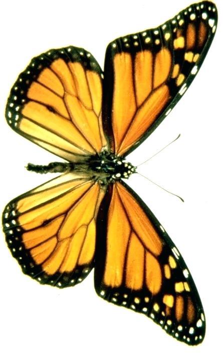 445x702 Draw Butterfly