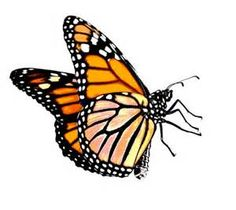 236x210 Monarch Butterfly Line Drawing