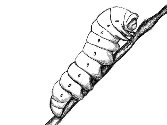 640x480 How To Draw A Caterpillar Drawing Caterpillar Tattoo, Drawings