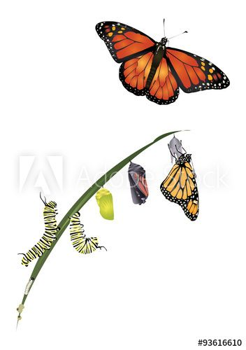 352x500 life cycle of monarch butterfly flower monarch butterfly