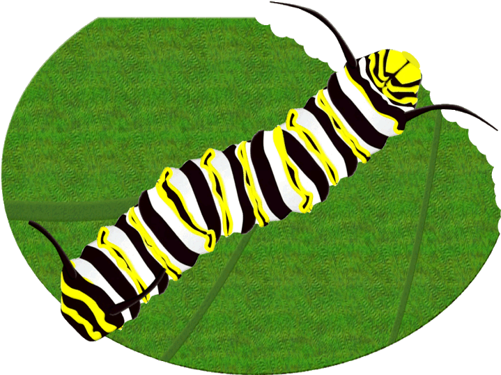 719x539 Monarch Butterfly Caterpillar Clipart Brush Footed