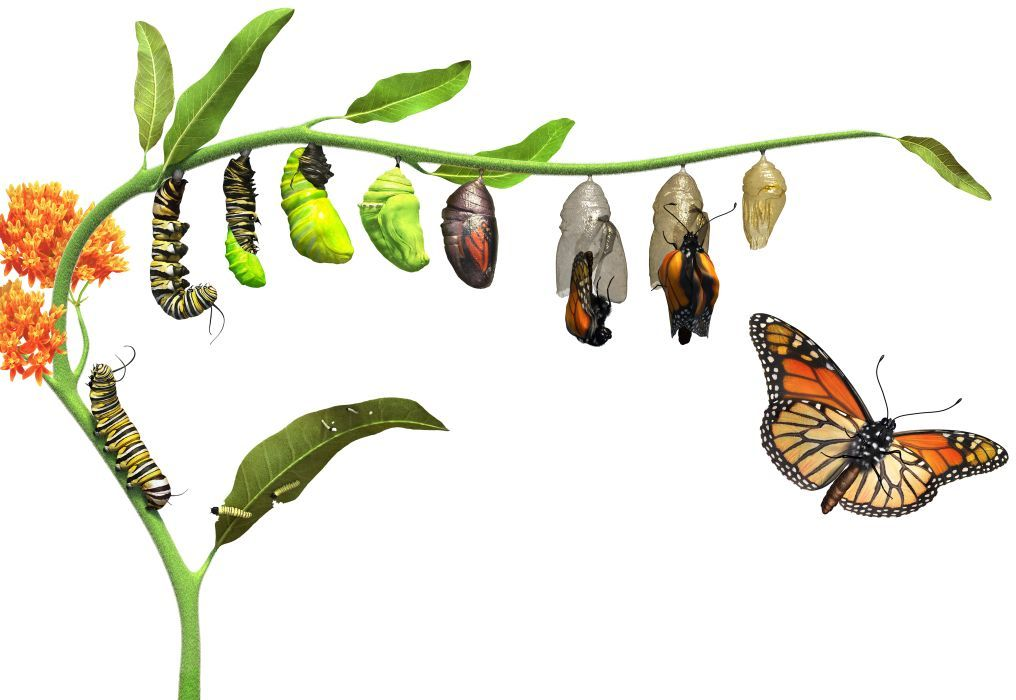 1016x700 Why Do Caterpillars Turn Into Butterflies Wild Animals