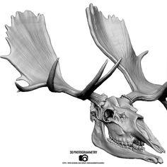 Moose Skull Drawing