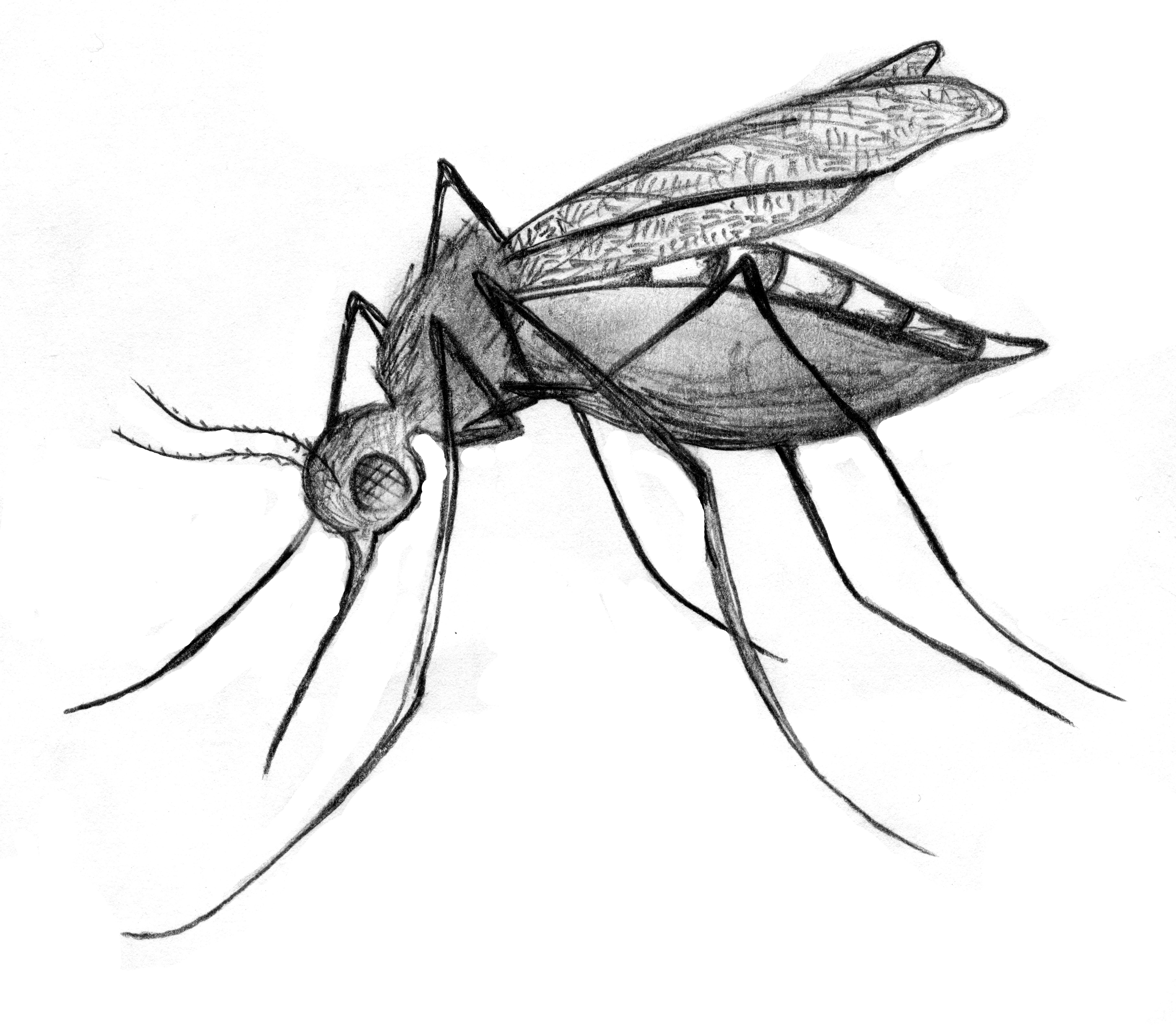 5784x5040 images for gt culex mosquito drawing spirit animals mosquito
