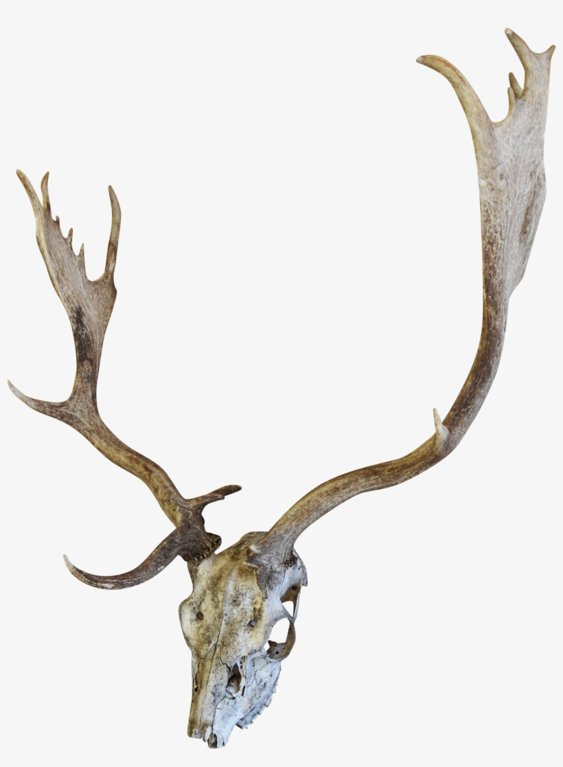 820x1117 English Fallow Deer Skull Chairish