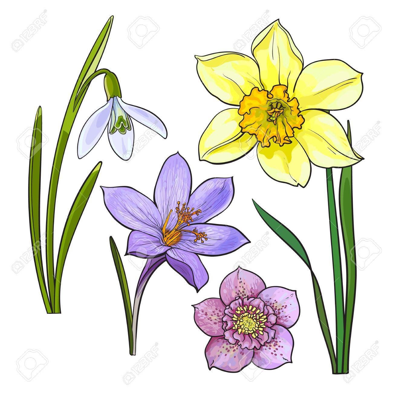 1300x1300 daffodil drawing daffodil coloring
