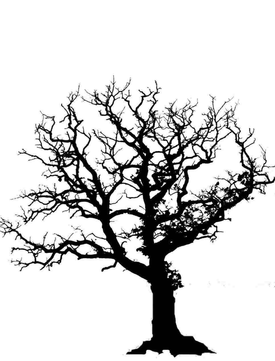 965x1264 Oak Tree Drawing Color