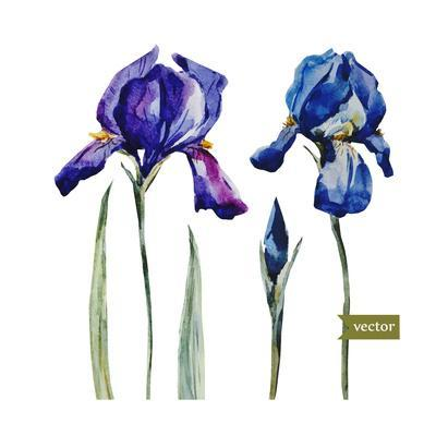 400x400 Watercolor Vector Drawing Flowers Blue Iris, Isolated Object