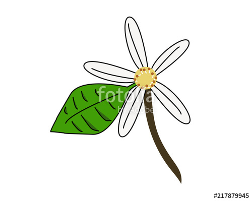 500x399 drawing of an orange blossom, the flower of orange tree