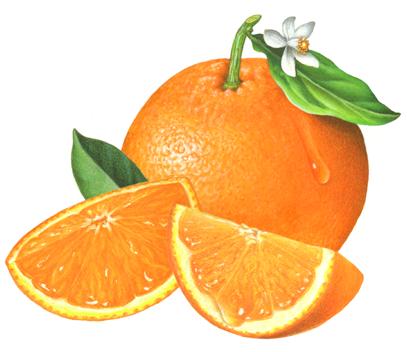 407x352 schneider stock illustrations citrus fruit illustrations available