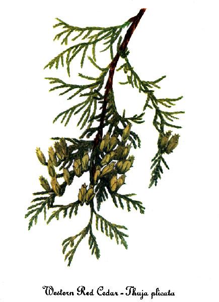 435x600 The Wild Garden Hansen's Northwest Native Plant Database