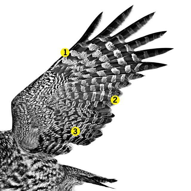 640x640 Owl Wings Hold The Secrets For Noise Canceling Tech