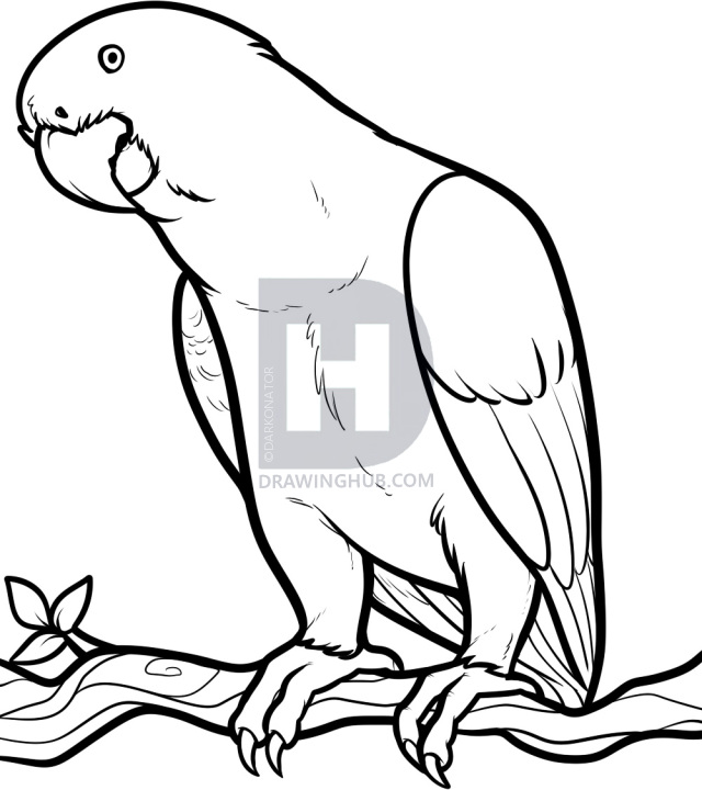 640x720 how to draw an african grey, african grey parrot, step